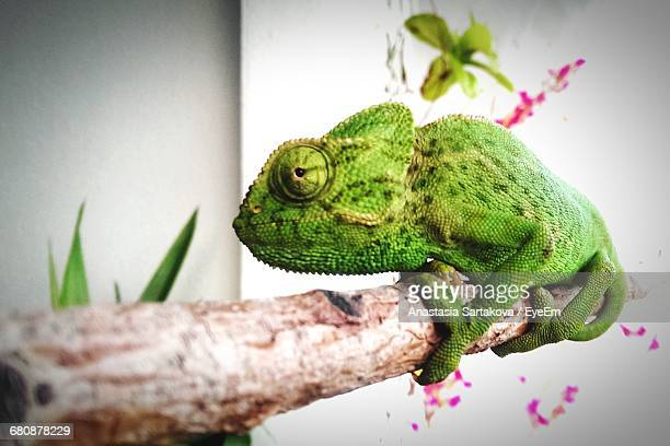 Close-Up Of Chameleon On Branch At Zoo