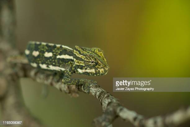 close-up of chameleon on branch - reptile leather stock pictures, royalty-free photos & images
