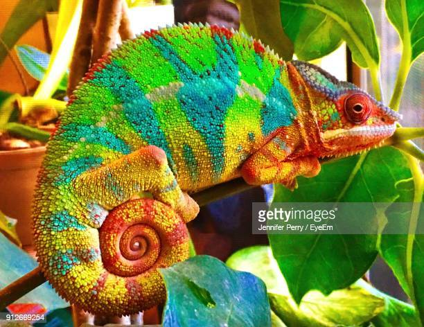 close-up of chameleon on plant - chameleon stock photos and pictures