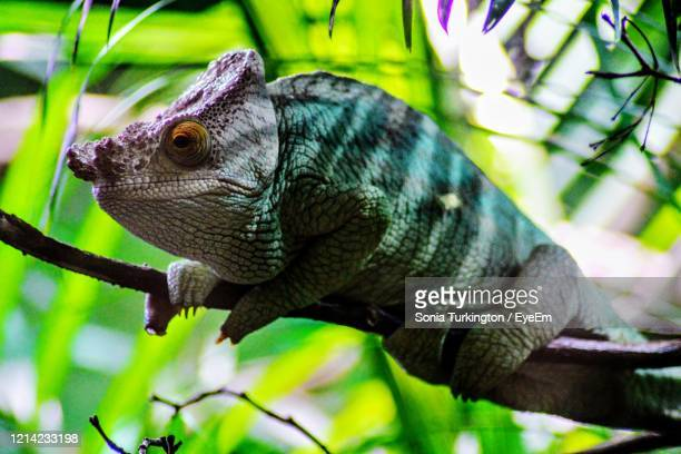close-up of chameleon on tree - chester zoo stock pictures, royalty-free photos & images