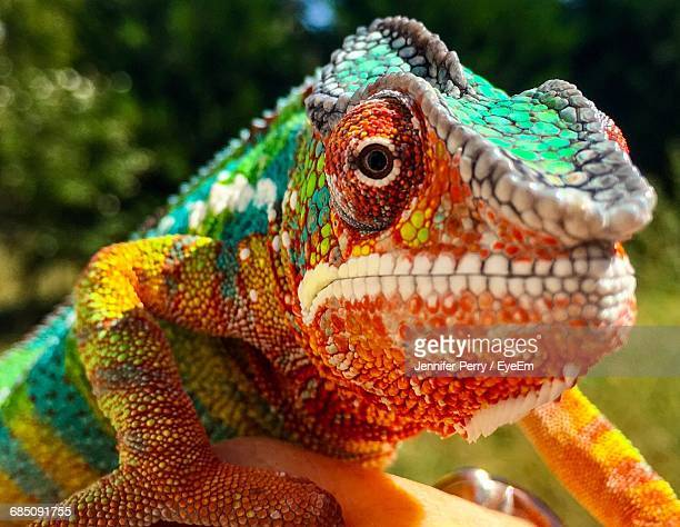 close-up of chameleon - madagascar stock photos and pictures