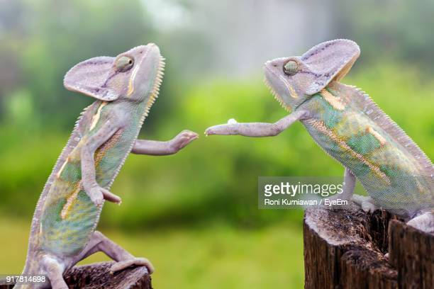close-up of chameleons on tree stump - chameleon stock photos and pictures