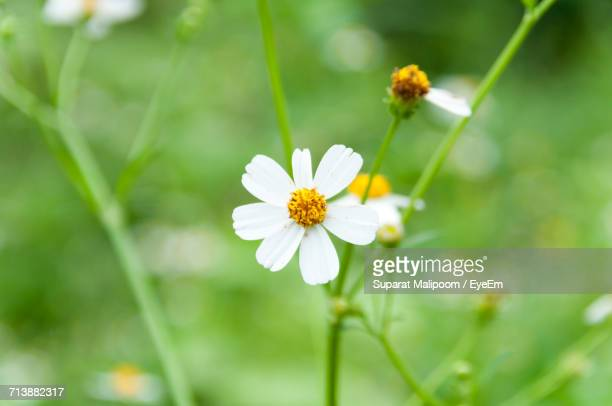 Close-Up Of Chamomile Blooming Outdoors