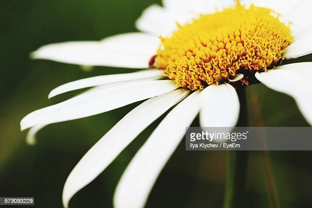 Close-Up Of Chamomile Flower Blooming Outdoors