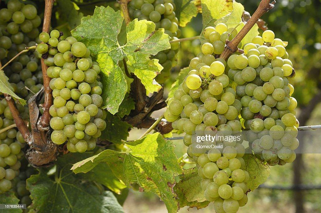 Close-up of Chardonnay Wine Grapes on Vine : Stock Photo