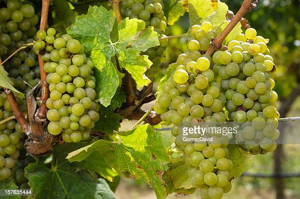 close-up of chardonnay wine grapes on vine - chardonnay grape stock photos and pictures