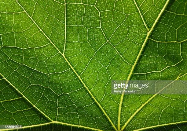 close-up of chayote leaf texture - blatt pflanzenbestandteile stock-fotos und bilder