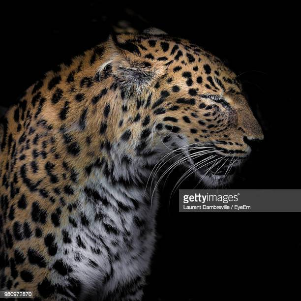 Close-Up Of Cheetah Against Black Background