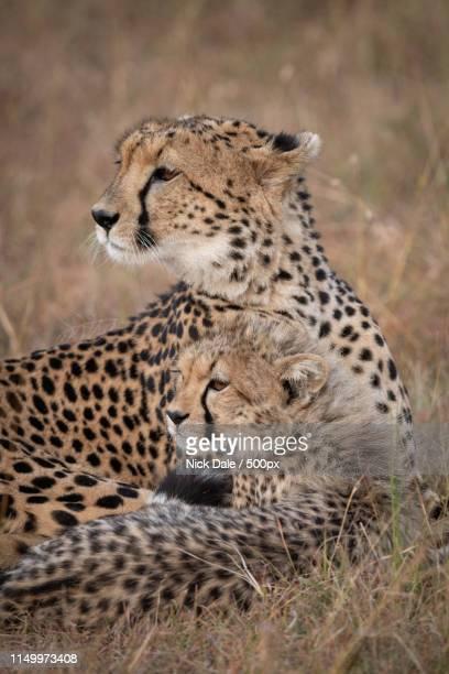 Close-Up Of Cheetah And Cub Looking Back