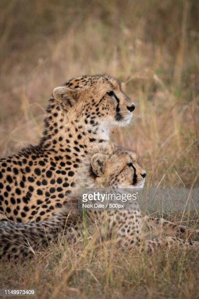 Close-Up Of Cheetah And Cub Lying Together