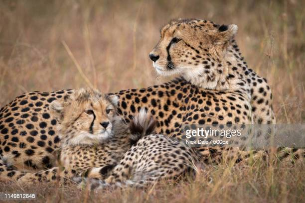 Close-Up Of Cheetah And Cub On Grass