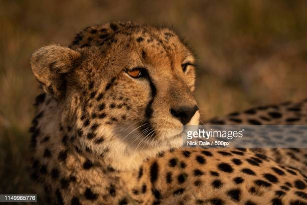 Close-Up Of Cheetah Bathed In Golden Light