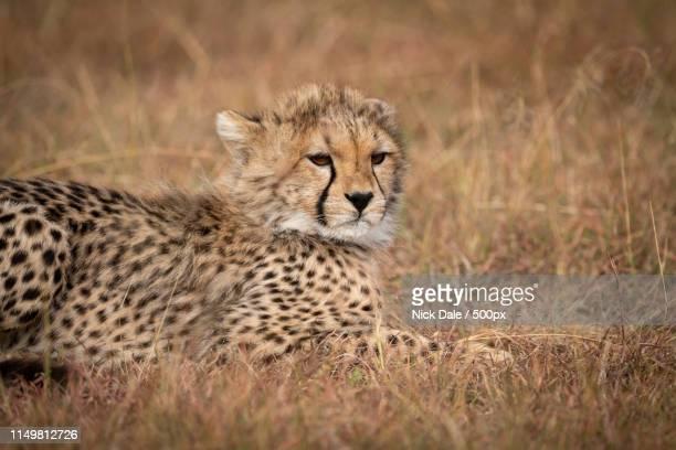 Close-Up Of Cheetah Cub Lying On Grass