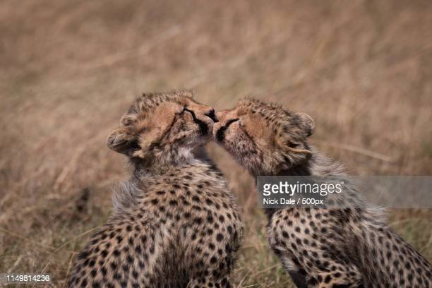 Close-Up Of Cheetah Cubs Kissing Each Other