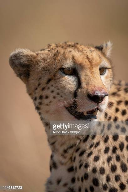 Close-Up Of Cheetah Face Stained With Blood