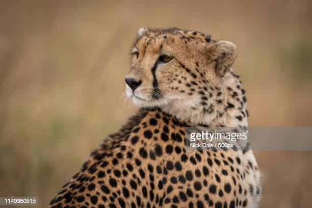 Close-Up Of Cheetah Looking Back Over Shoulder