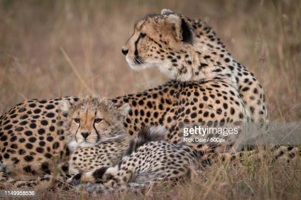 Close-Up Of Cheetah Looking Back With Cub