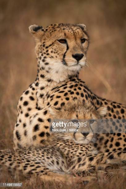 Close-Up Of Cheetah Looking Out Over Cub