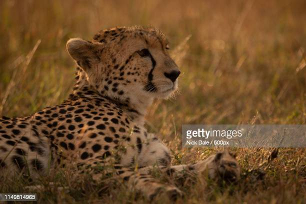 Close-Up Of Cheetah Lying In Golden Light