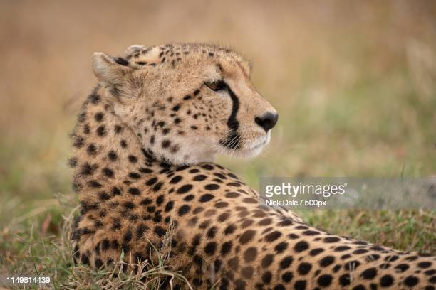 Close-Up Of Cheetah Lying With Turned Head