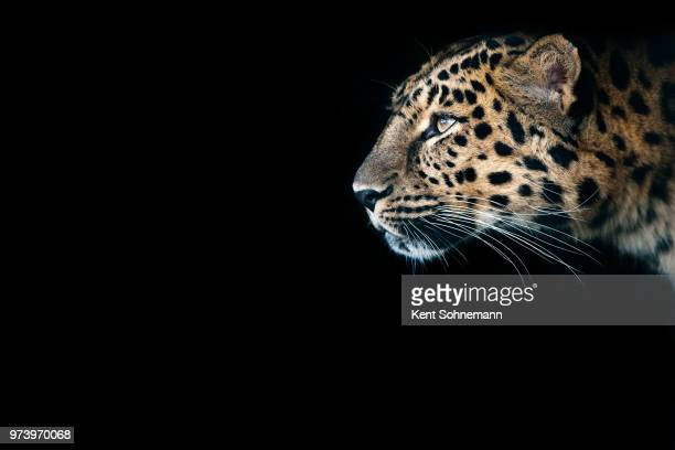 close-up of cheetah on black background - vertebrate stockfoto's en -beelden