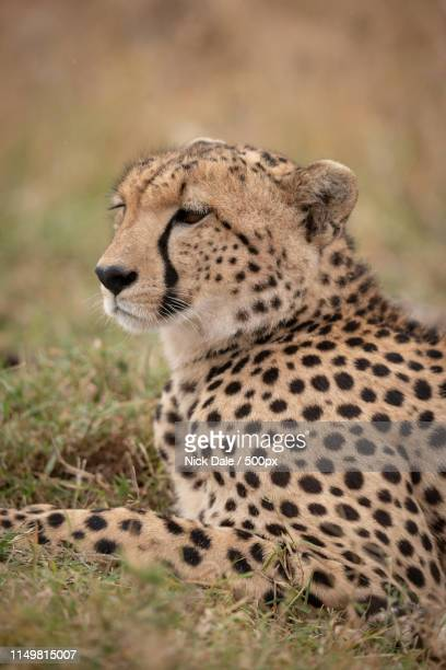 Close-Up Of Cheetah On Grass Looking Ahead