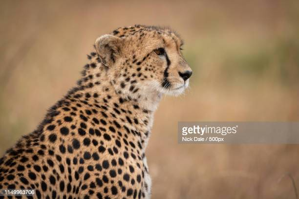 Close-Up Of Cheetah Sitting In Grassy Plain