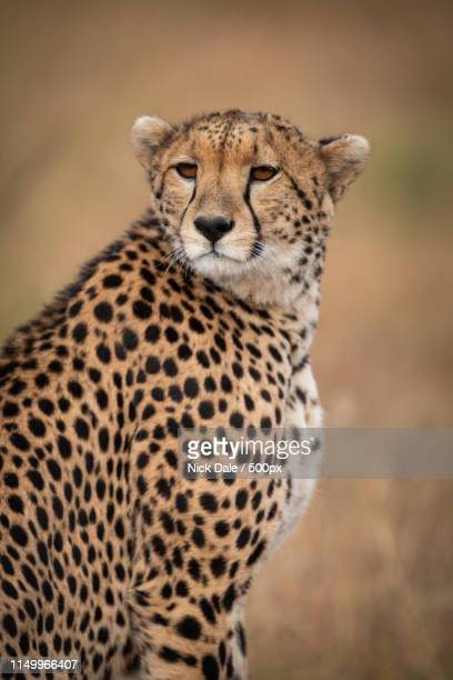 Close-Up Of Cheetah Sitting Looking Over Shoulder