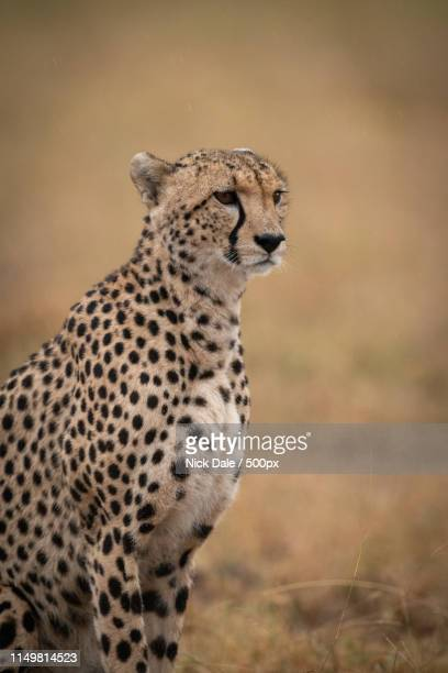 Close-Up Of Cheetah Sitting Staring In Grassland