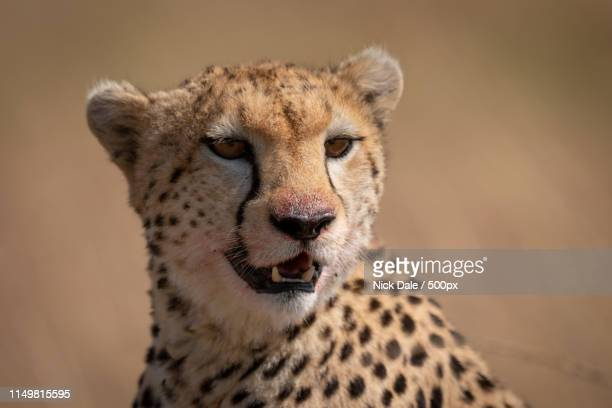 Close-Up Of Cheetah Sitting With Bloody Face