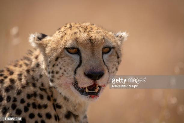 Close-Up Of Cheetah Sitting With Bloody Lips