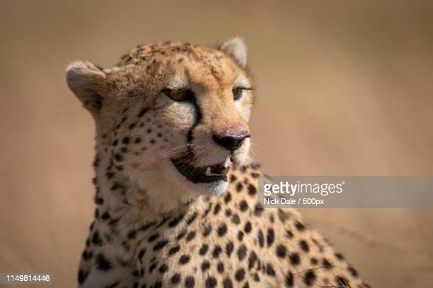 Close-Up Of Cheetah Sitting With Bloody Mouth