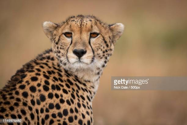 Close-Up Of Cheetah Sitting With Head Turned