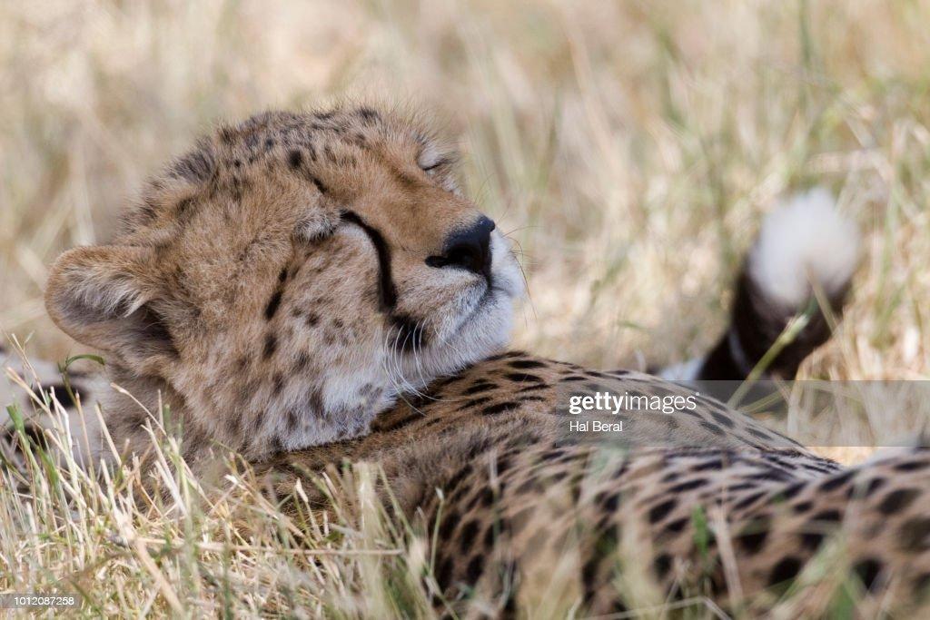 closeup of cheetah sleeping stock photo getty images