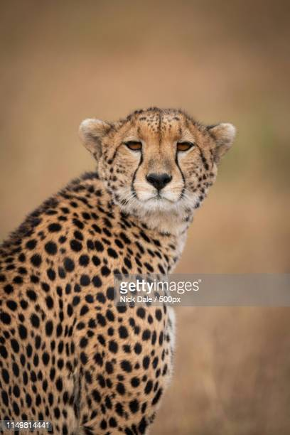Close-Up Of Cheetah Turning Head Towards Camera