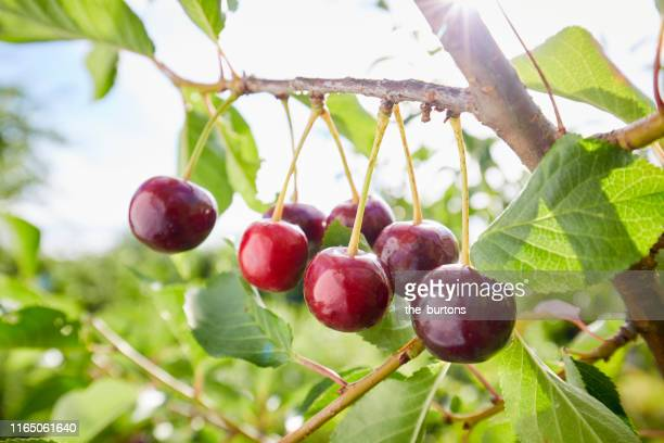 close-up of cherries growing on a tree against sky - 果樹 ストックフォトと画像