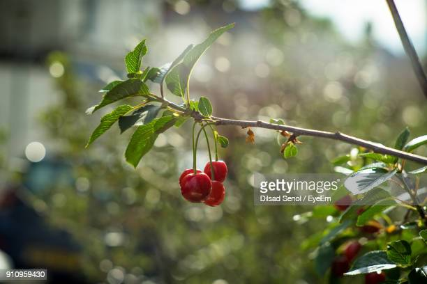 close-up of cherries growing on tree - ciliegia foto e immagini stock