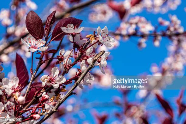 close-up of cherry blossom against blue sky - halifax nova scotia stock pictures, royalty-free photos & images