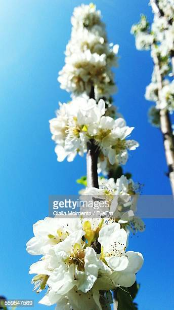 Close-Up Of Cherry Blossom Growing On Tree Against Clear Blue Sky