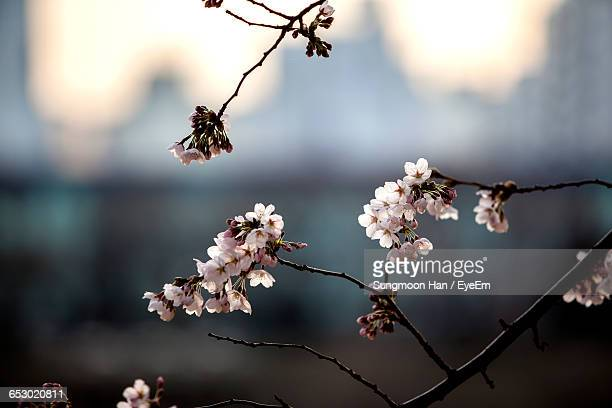 Close-Up Of Cherry Blossom Growing On Tree