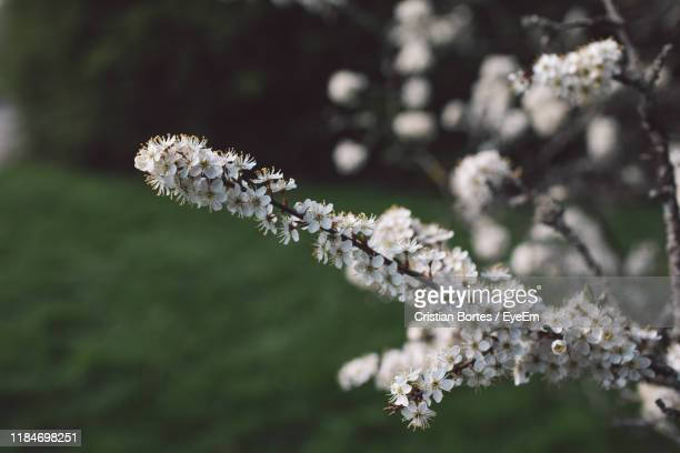 close-up of cherry blossom on tree - bortes stock pictures, royalty-free photos & images