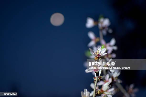 close-up of cherry blossom - flower moon stock pictures, royalty-free photos & images