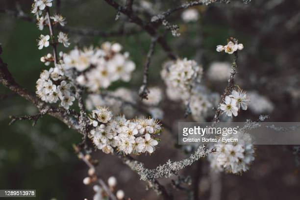 close-up of cherry blossom - bortes stock pictures, royalty-free photos & images