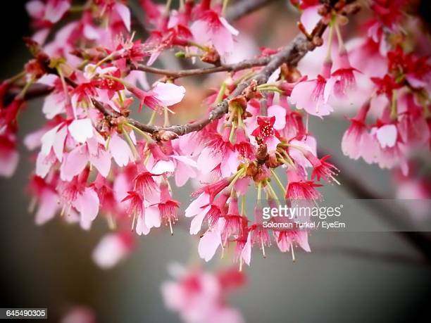 close-up of cherry blossom - solomon turkel stock pictures, royalty-free photos & images