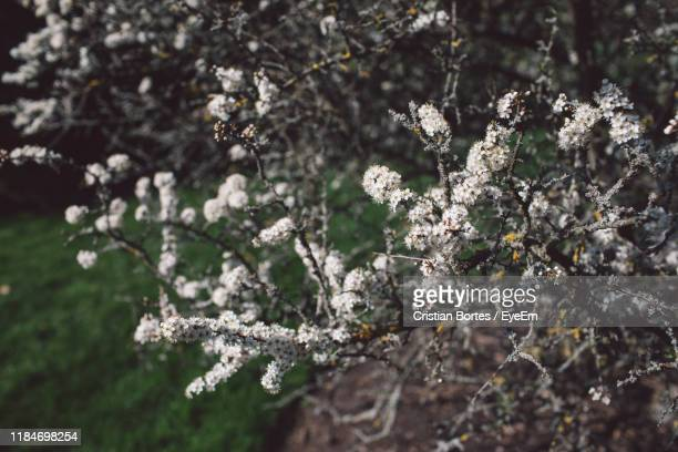 close-up of cherry blossom tree in winter - bortes stock pictures, royalty-free photos & images