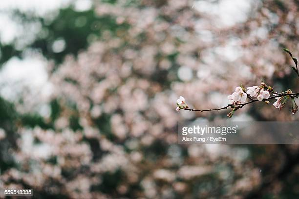Close-Up Of Cherry Blossoms Blooming On Branch