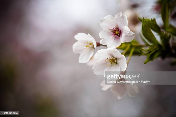 close-up of cherry blossoms in park - almond orchard stock photos and pictures
