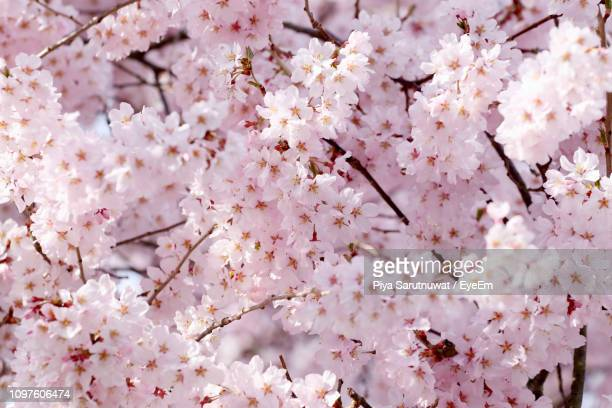 close-up of cherry blossoms in spring - 桜 ストックフォトと画像