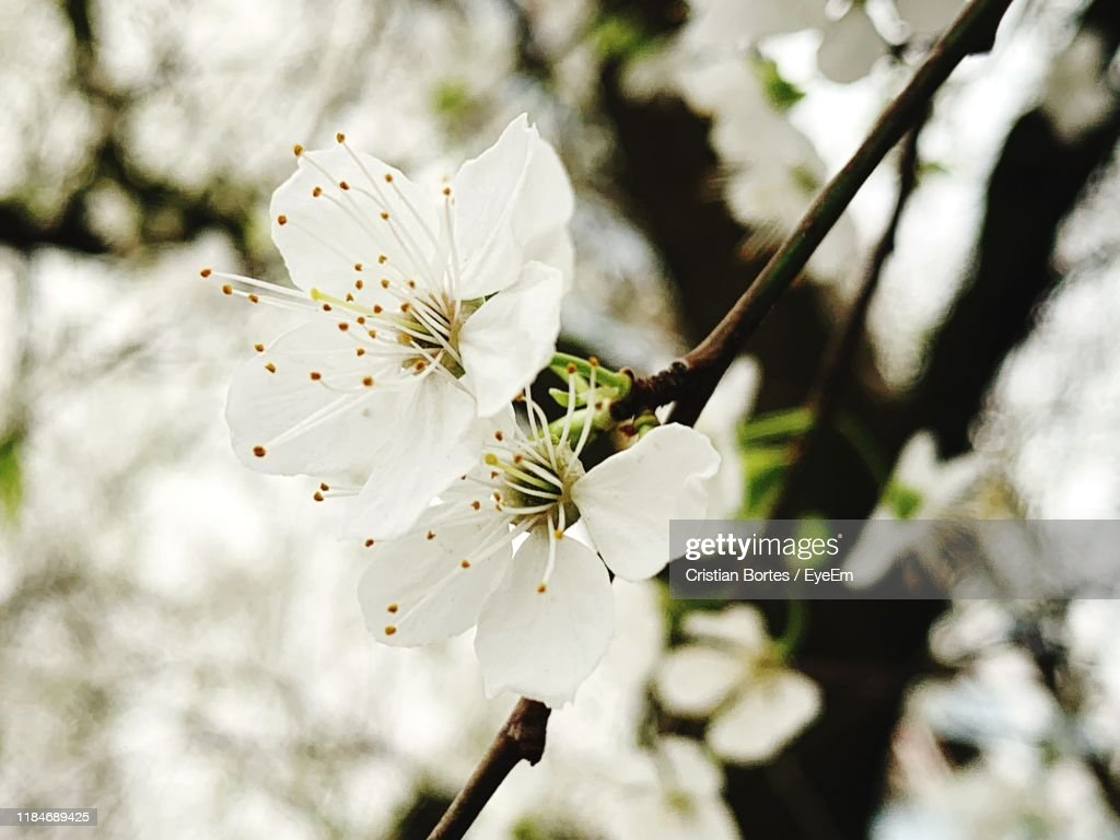 Close-Up Of Cherry Blossoms In Spring : Stock Photo