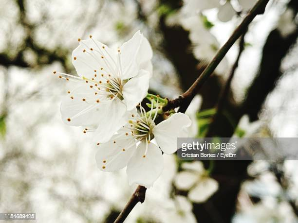 close-up of cherry blossoms in spring - bortes stock photos and pictures